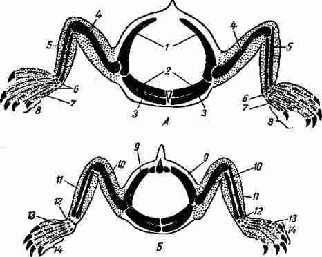 Схема будови »грудних (Л) і